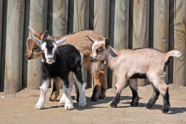 Ziegennachwuchs im Tiergarten Delitzsch