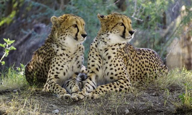 Gepard_Symbolbild_von_Pixabay